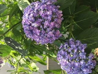 紫陽花が、